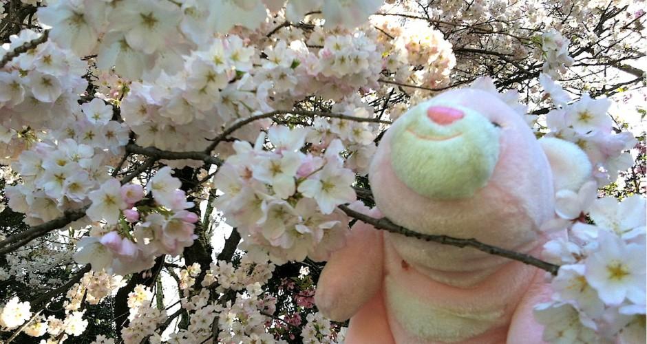樱花中的Noisie