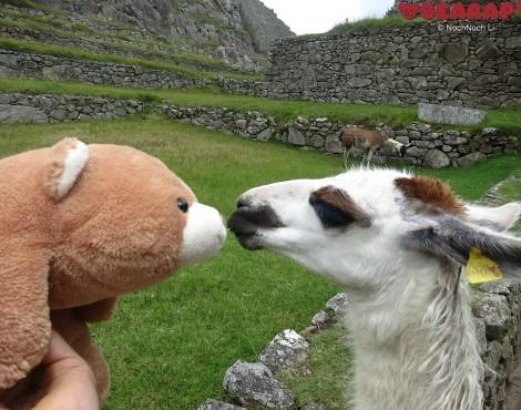 kissing a llama