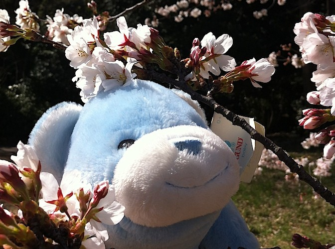 Bookie in cherry blossoms